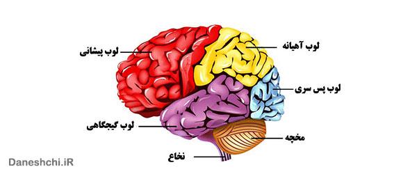 اجزای مغز