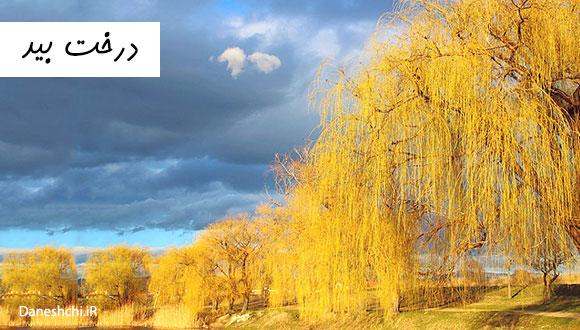 عکس درخت بید در پاییز