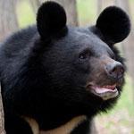 جانور خرس آسیایی