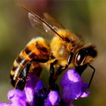 جانور زنبور