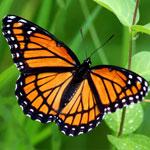 جانور پروانه