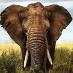جانور فیل