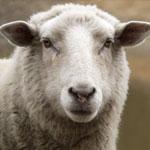 جانور گوسفند