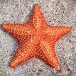 جانور ستاره دریایی