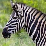 جانور گورخر