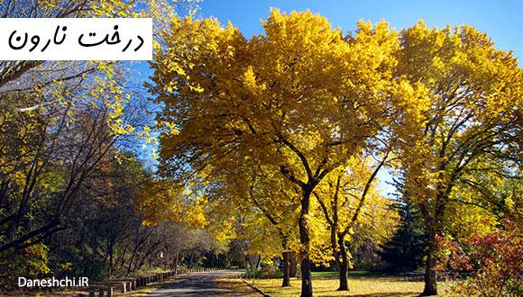 عکس درخت نارون در پاییز