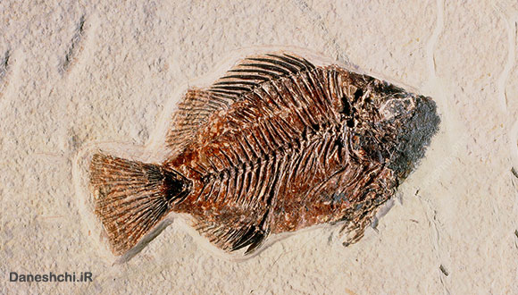 فسیل ماهی