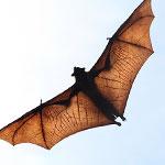 جانور خفاش