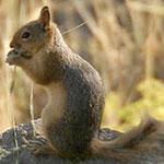 جانور سنجاب ایرانی