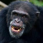 جانور شامپانزه