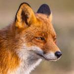 جانور روباه