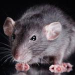 جانور موش