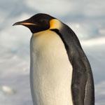 جانور پنگوئن