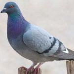 جانور کبوتر